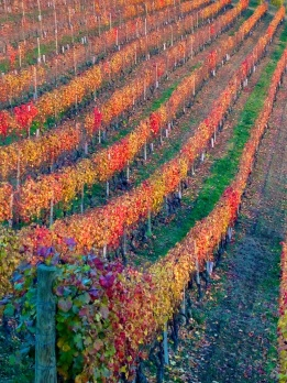 Autumn vineyards near Alba